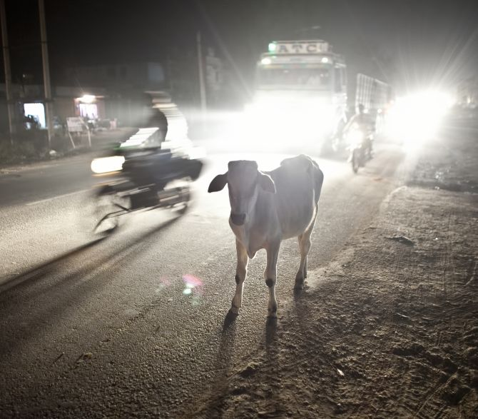 RAMGARH, INDIA - NOVEMBER 8: A cow stands on a road November 8, 2015 in Ramgarh, Rajasthan, India. The local 'cow vigilante' group, headed by Nawal Kishore Sharma, is one of dozens of such hard line Hindu cow protection vigilante groups operating across India. The members work various day jobs such as teachers, lawyers, marble sculptors, politicians and by night they patrol on watch for smugglers illegally transporting cows for sale and slaughter. Many also work at the cow shelters where the rescued cows are taken. (Photo by Allison Joyce/Getty Images)