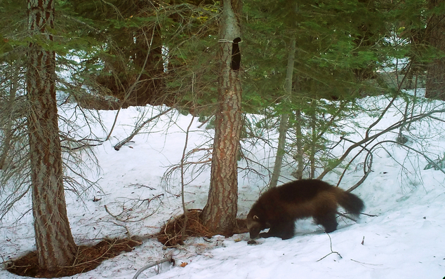 This Feb. 27, 2016 photo provided by the California Department of Fish and Wildlife, from a remote camera set by biologist Chris Stermer, shows a wolverine in the Tahoe National Forest near Truckee, Calif. Once believed to have gone extinct in the Sierra Nevada, California wildlife biologists believe this wolverine, nicknamed Buddy, spotted this spring near Truckee, is the same one that in 2008 became the first documented in the area since the 1920s. (Chris Stermer/California Department of Fish and Wildlife via AP)