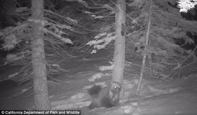 Scientists capture rare images of wolverine in Sierra Nevada3