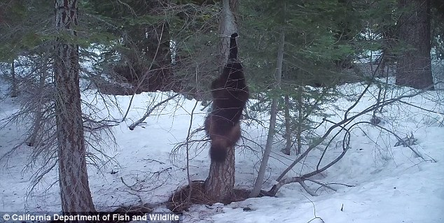 Scientists capture rare images of wolverine in Sierra Nevada4