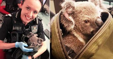 australian-cops-found-koala-baby-in-a-womans-bag