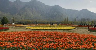 Indira Gandhi Memorial Tulip Garden is situated on the foothills of Zabarwan mountain range. Nearly 1.25 million tulip bulbs were sown in the garden this year.