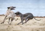 Greyhound dogs